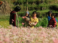 Ha Giang in the buckwheat flower season