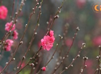 Spring comes – Peach flowers blossoms